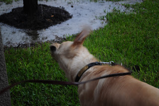 Bob standing in the rain shaking his head off. His ears are blurred out as his head goes back and fourth