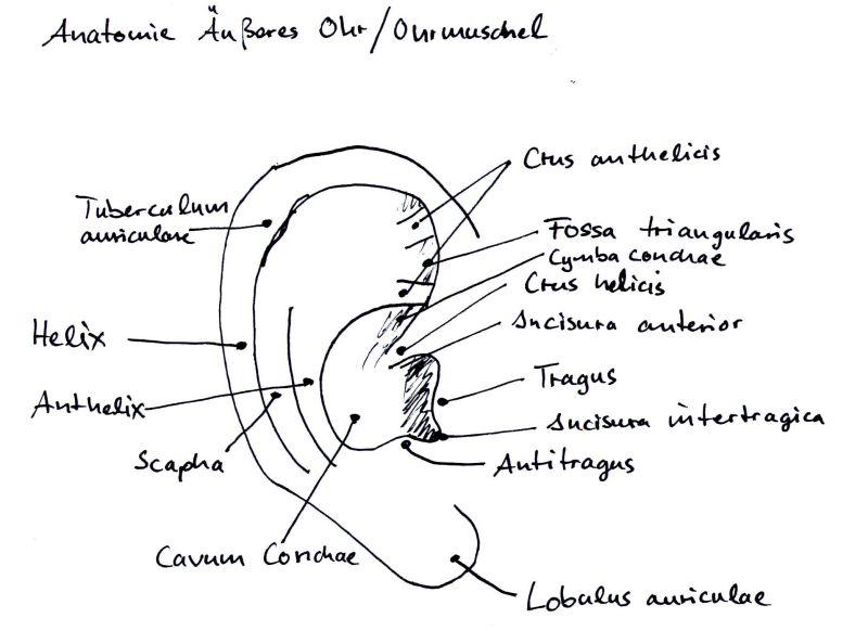 ghs_test: Teil 3/ Anatomie der Ohrmuschel (Auricula auris)