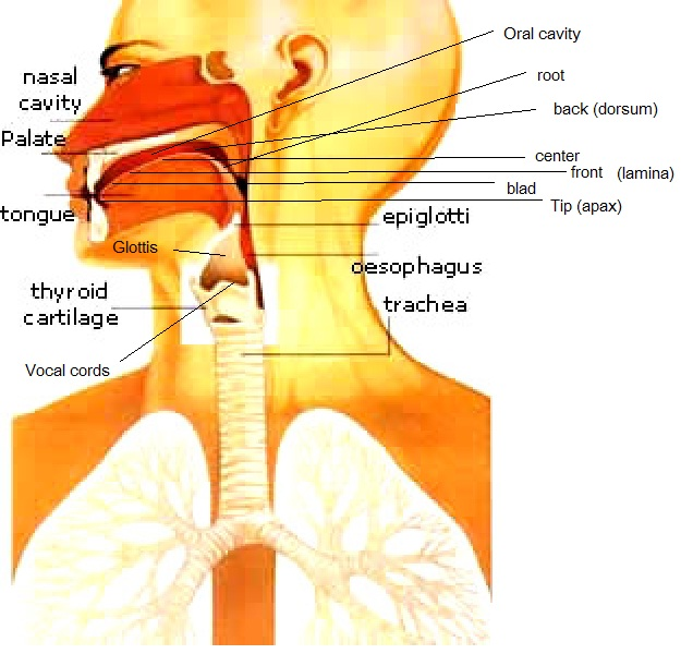 organs of speech. Charts - Speech Organs
