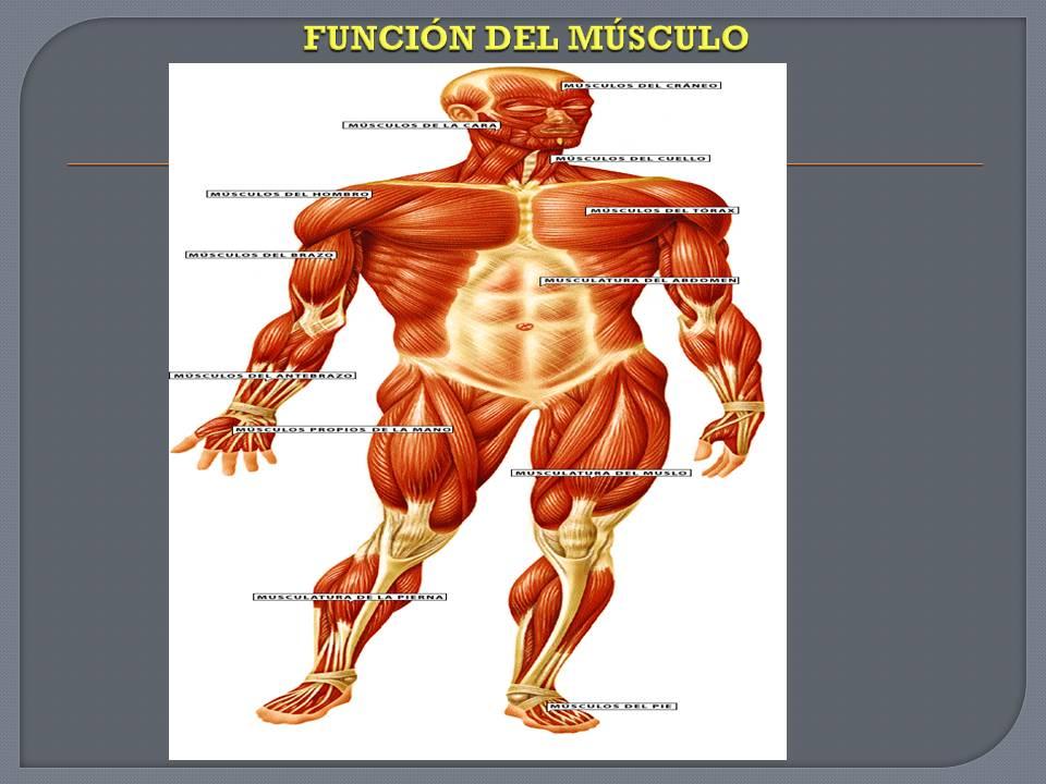 Anatomía y Fisiología humana: SISTEMA MUSCULAR.