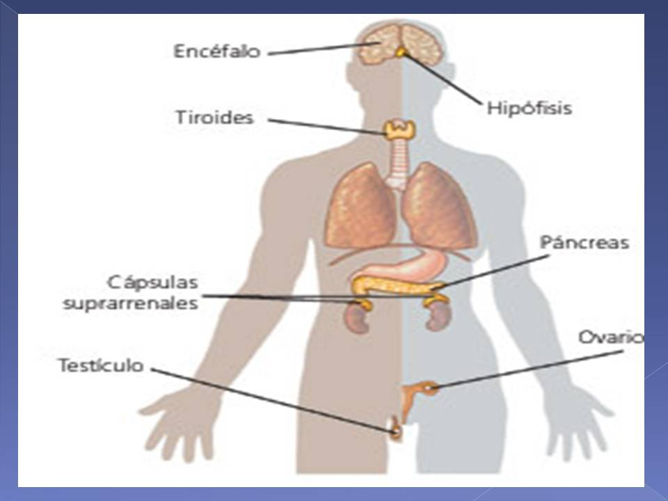 Anatomía y Fisiología humana: Sistema Endocrino.