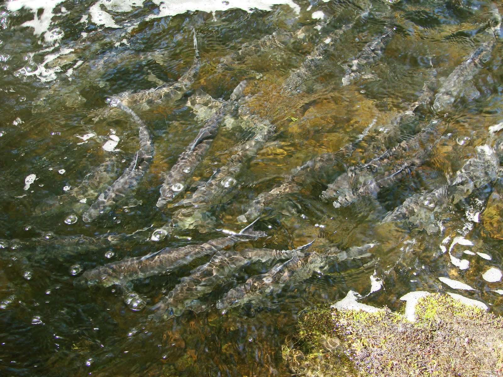 alewives river herring maine