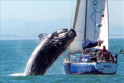 ballenasaltando Ballena salta sobre un barco