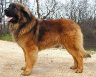 Leonberger Puppies on Postagem Mais Recente Postagem Mais Antiga In  Cio