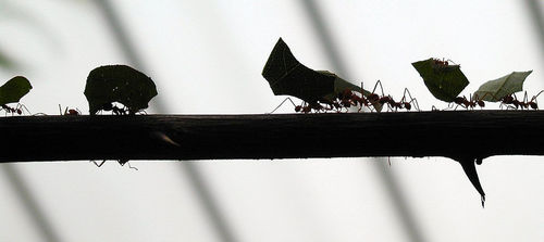 'Ants on a branch' by tompagenet on Flickr