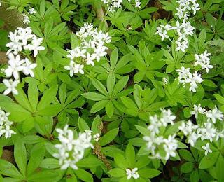 Лазаркиня, асперула, миризлива лазаркиня / Asperula odorata