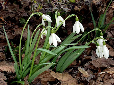 Кокиче / Galanthus nivalis