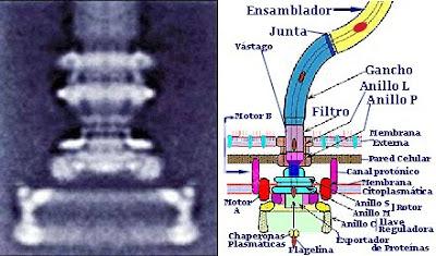 Flagelo bacteriano in situ: Darwin não explica a origem e nem a evolução disso!!!  Flagelo+bacteriano+14
