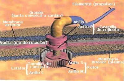 Flagelo bacteriano in situ: Darwin não explica a origem e nem a evolução disso!!!  Flagelo+bacteriano+16