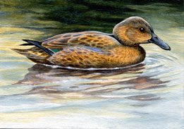 cinnamon teal ACEO painting by wildlife artist Shari Erickson