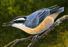 red breasted nuthatch ACEO painting by wildlife artist Shari Erickson