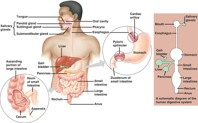 Human ruminant digestive system ccuart Images