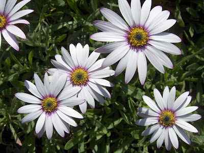 white big daisy