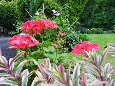 geraniums in October