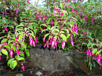 Fuchsia in November