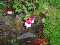 A Fuchsia surviving in November