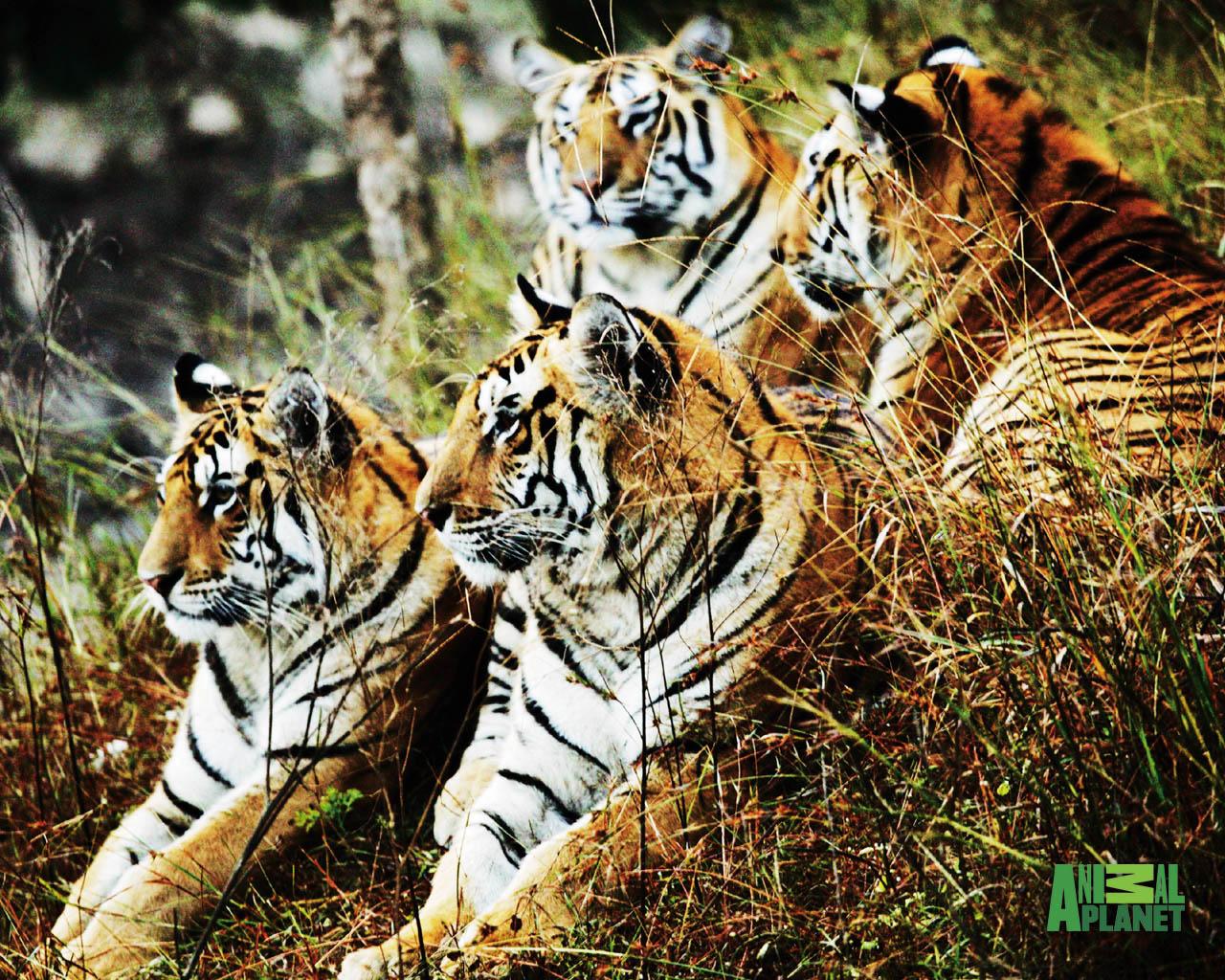 http://3.bp.blogspot.com/_4krEhApfbkY/TRgNJQWkXzI/AAAAAAAAAXc/_rEU3Ag4Jqc/s1600/tiger-spy-2-1280.jpg