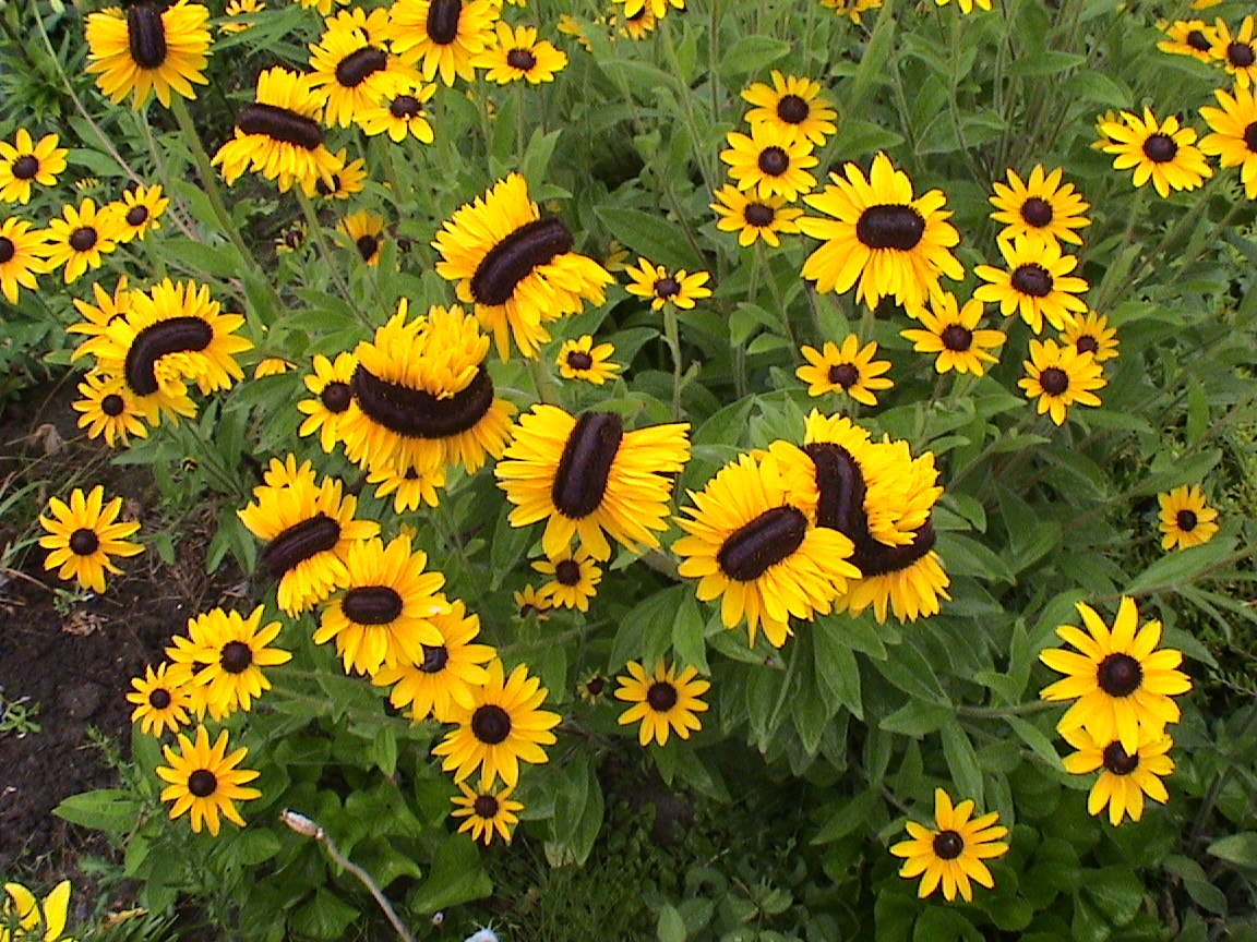My Friendship Garden88 An Odd Shaped Black Eyed Susan
