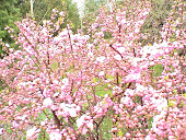 "Double Pink ""Flowering Almond"" Shrub"