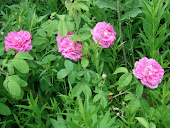 """""""Shrub Rose"""""""