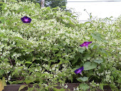"""Virgin's Bower"" Clematis"