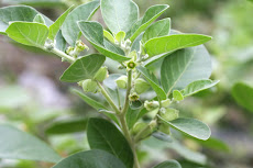 "Ashwagandha (Indian Winter Cherry) extract  contains the anti-cancer compound ""Withaferin A"""