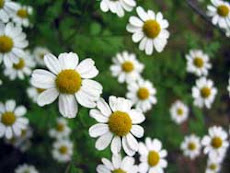 "Chamomile:  Rich in the anti-cancer flavone ""Apigenin"""