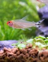 Ryby akwariowe Zwinnik Czerwonousty