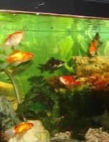 Ryby akwariowe - przegląd ryb chodowanych w akwarium