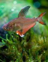Ryby akwariowe Bystrzyk Ozdobny