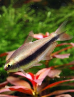 Ryby akwariowe Cesarska Tetra