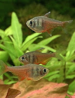 Ryby akwariowe Bystrzyk Czerwony