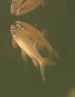Ryba akwariowa Smukleń Pryskacz