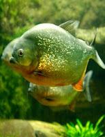 Ryba akwariowa Rodzina Serrasalmidae