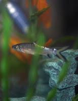 ryby akwariowe - Choroby ryb akwariowych