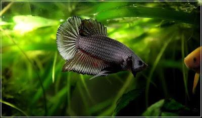 jli1 - ryby akwariowe