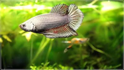 jli2 - ryby akwariowe