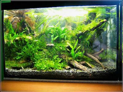 Ryby akwariowe - 61591521