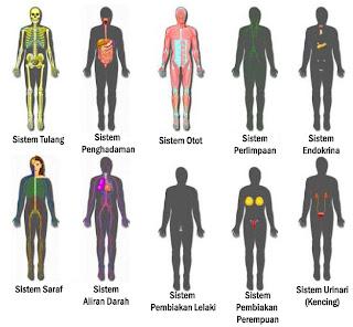 sistem ini beroperasi secara harmoni untuk menjaga organ-organ dan