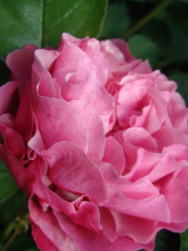 mein waldgarten raubritter schneewittchen und andere rosen. Black Bedroom Furniture Sets. Home Design Ideas
