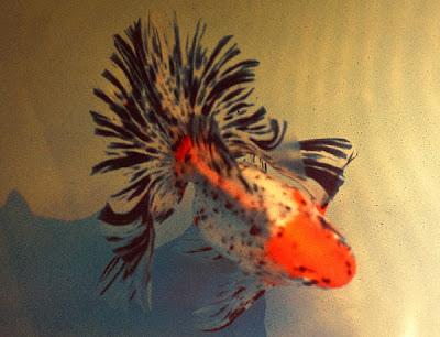 Pecinta ikan Komet masuk sini - Kaskus - The Largest In