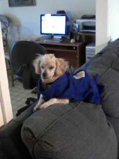 A small tawny dog wearing a blue jumper, sitting in a dark room.