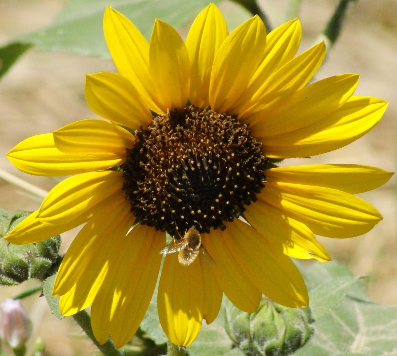Anatomy Of A Sunflower Diagram