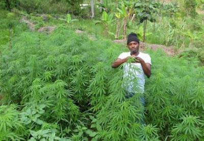 (JEU) MOI QUAND...... - Page 5 Jamaique+cannabis