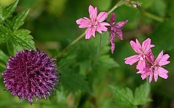 Geranium og Allium