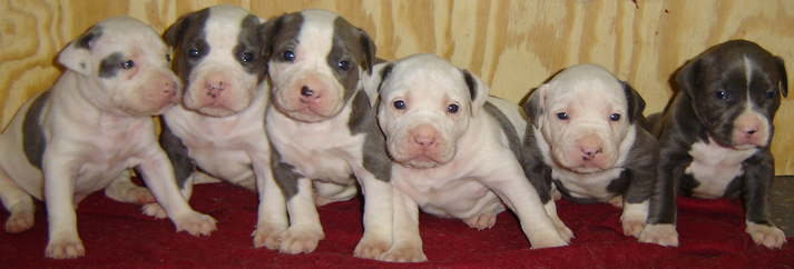 blue pit bull,blue pitbull puppies 039