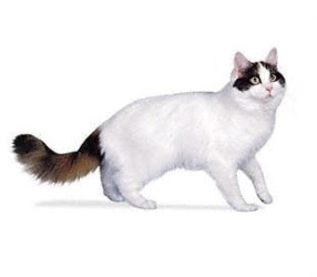 Turkish Van Cat