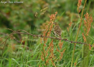 Verdecillo (Serinus serinus)