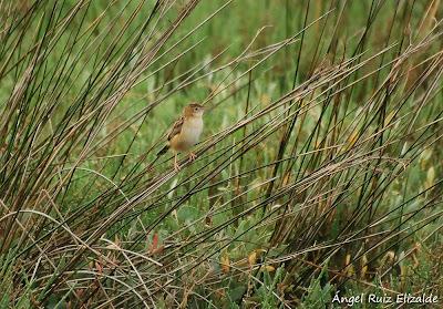 Buitrón (Cisticola juncidis)