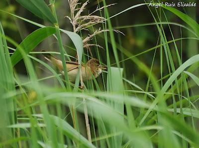 Carricero común (Acrocephalus scirpaceus)